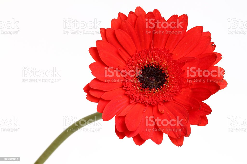 red color of daisy flower stock photo   istock, Beautiful flower