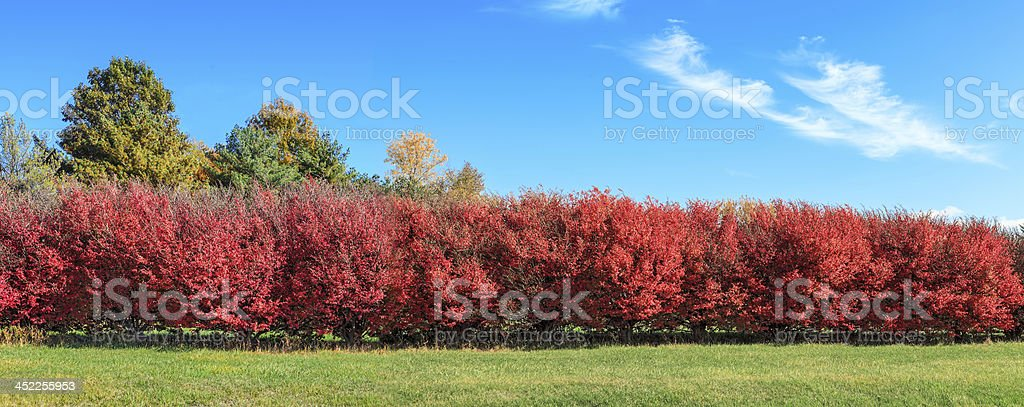 Red Colored Bushes stock photo