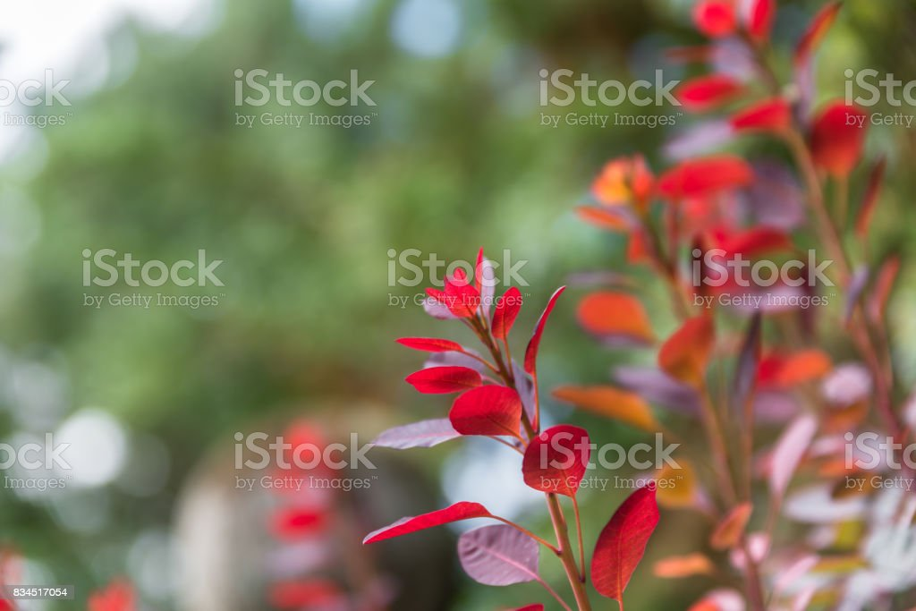 Red colored leaves on a bush in the autumn stock photo