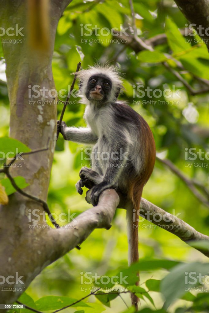 red colubus monkey in jozani forest tree stock photo