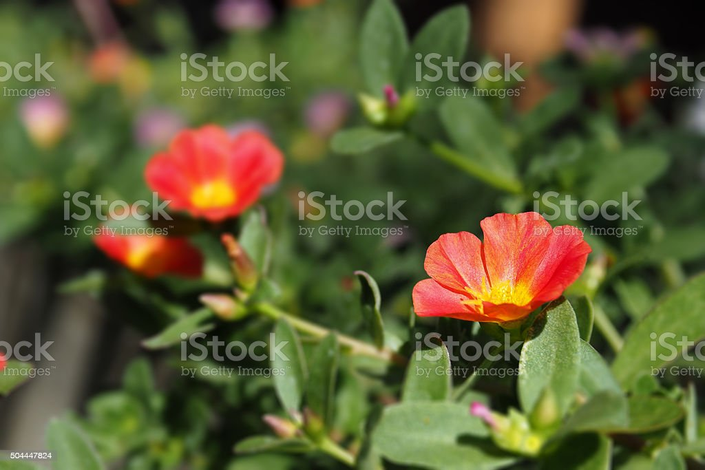 Red Common Purslane blooming stock photo