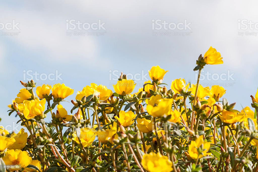 Red Common Purslane or Verdolaga or Pigweed stock photo