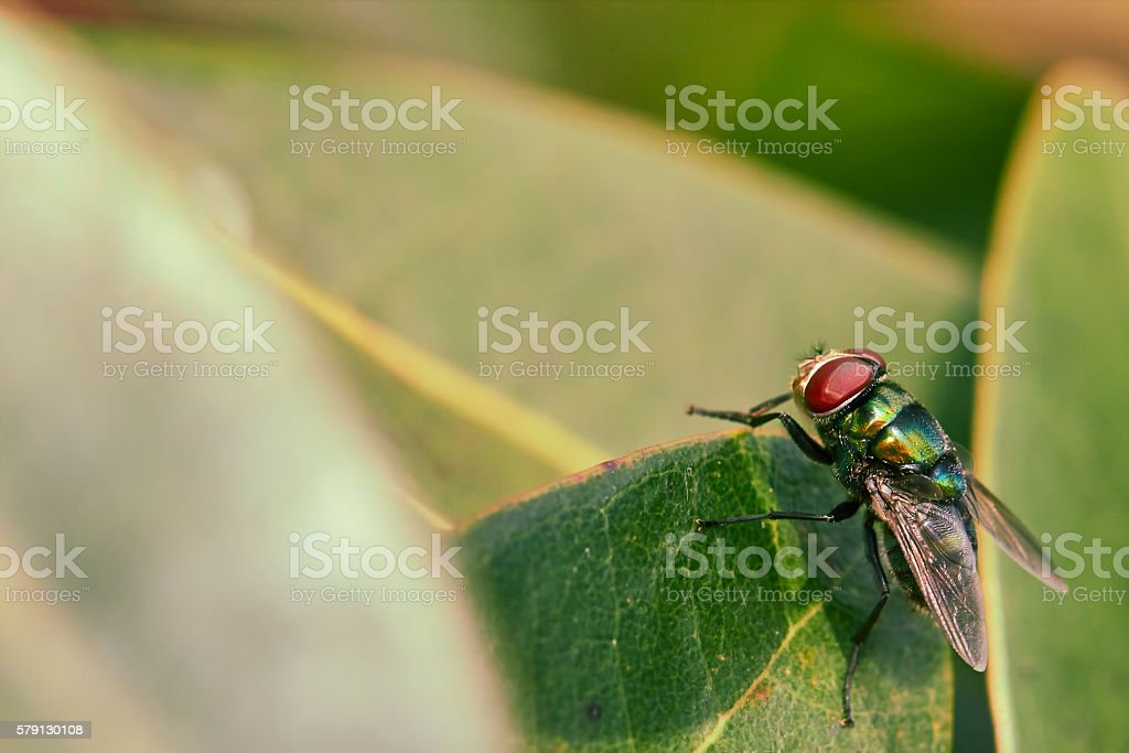 Red Compound Eyes of Green Fly stock photo