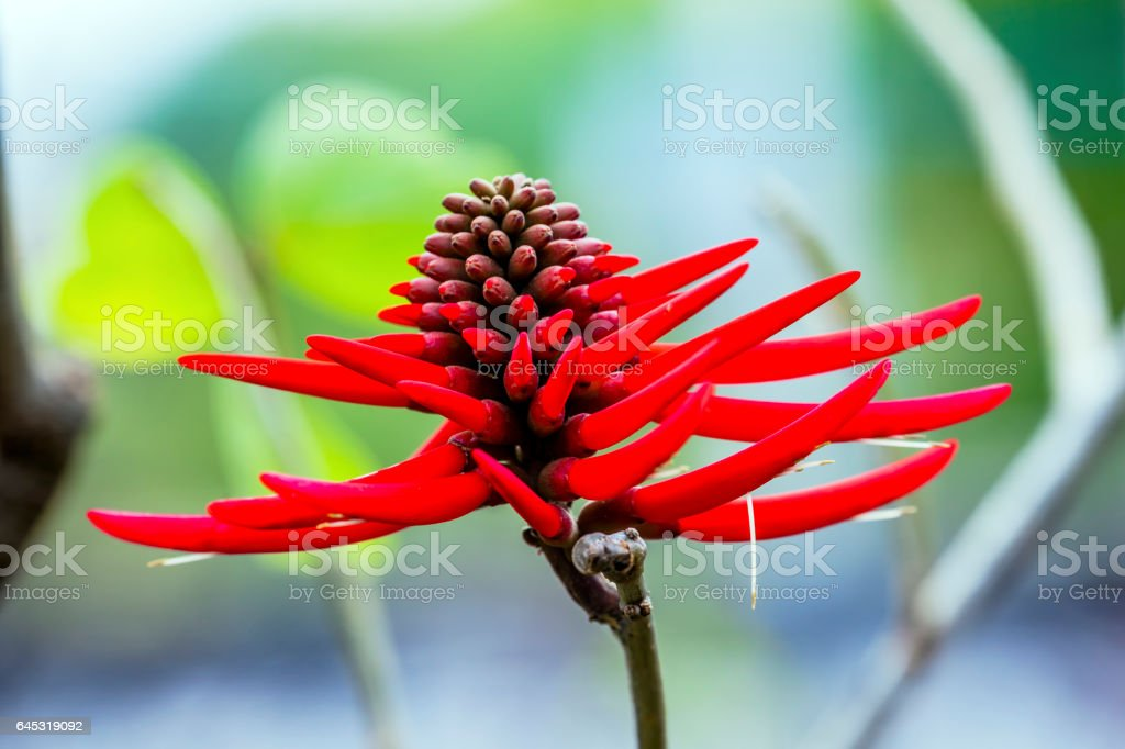 Red Coral Flower Erythrina Americana Colorines Mexico stock photo