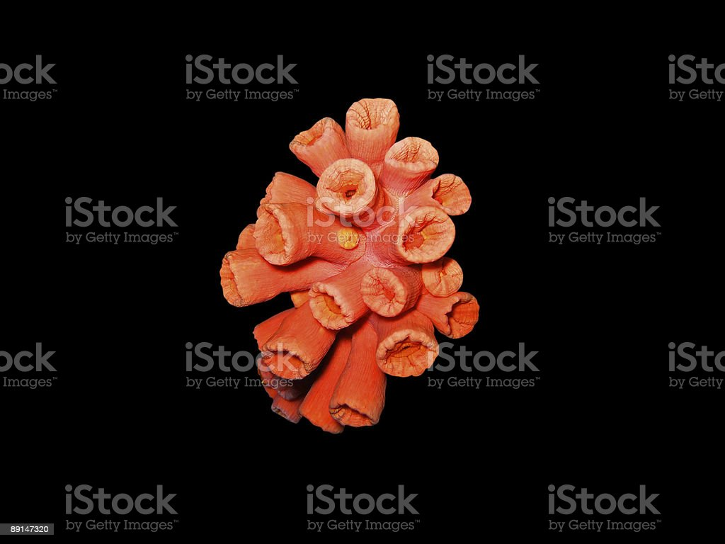 red coral isolated royalty-free stock photo