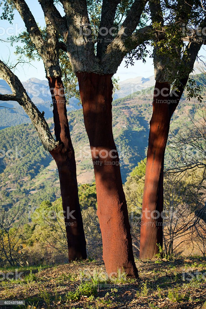 Red cork tree orchad road in Spain -  Quercus suber, stock photo