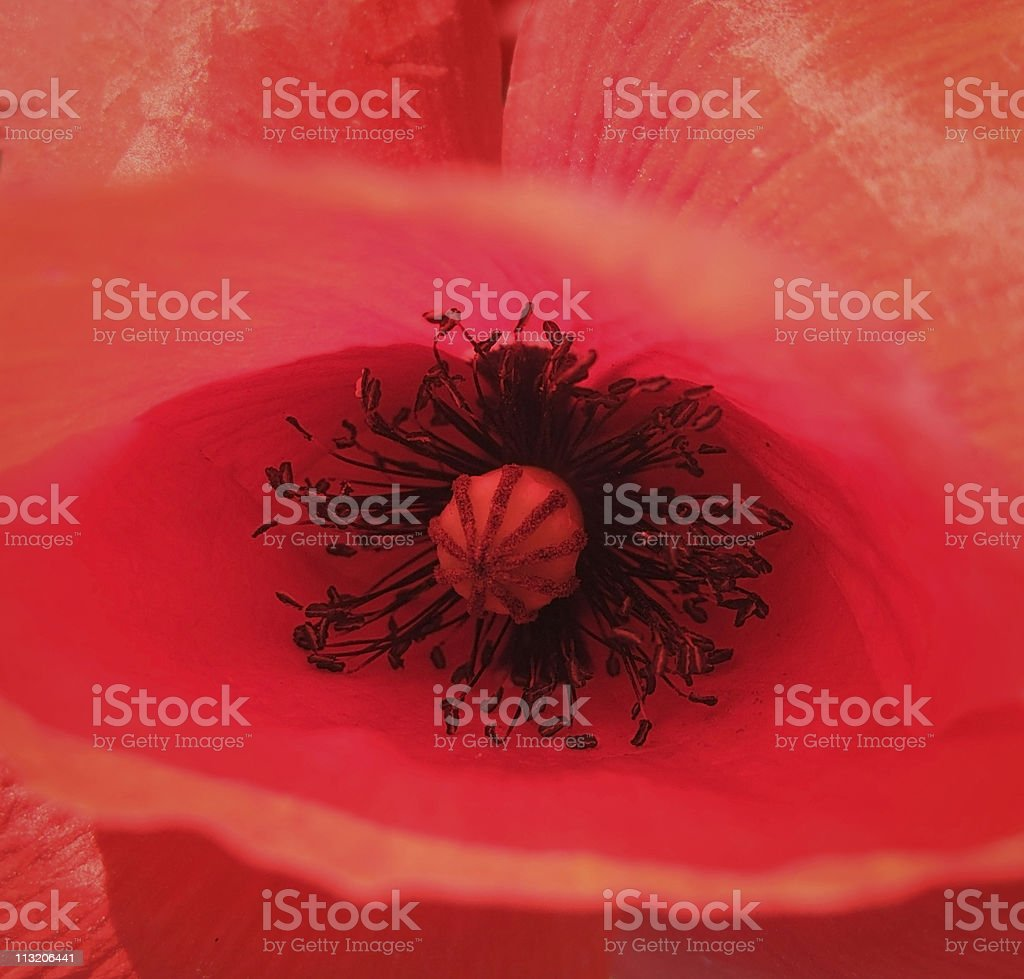 red corn poppy detail royalty-free stock photo