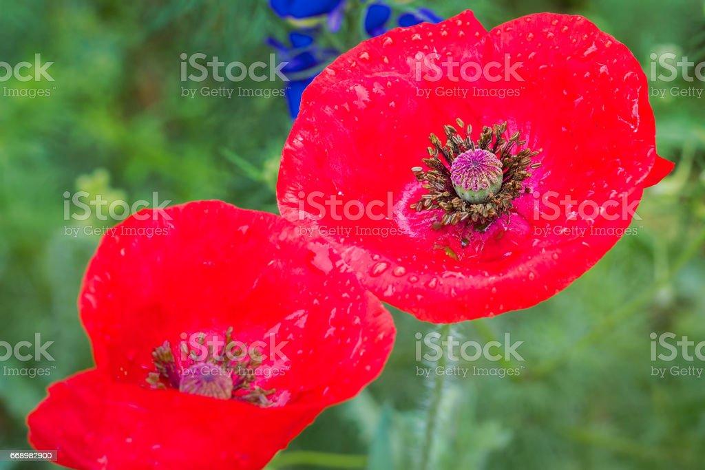 Red Corn Poppy in a Wildflower Field stock photo