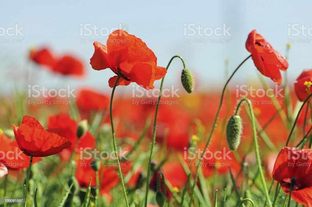 Red corn poppy plant with green stems royalty-free stock photo