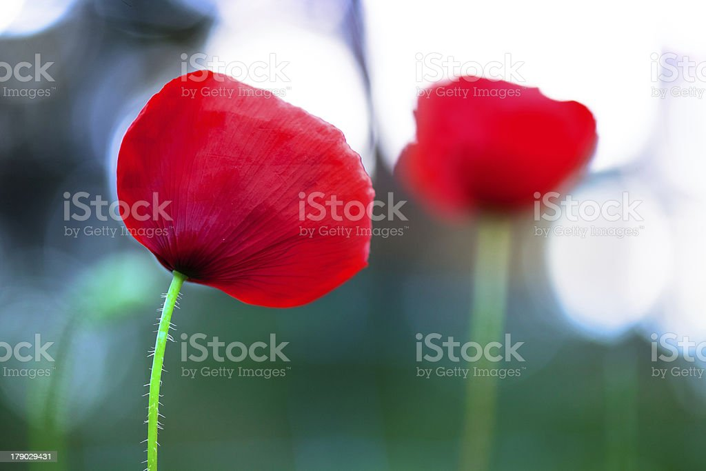 Red Corn Poppy with Bokeh royalty-free stock photo