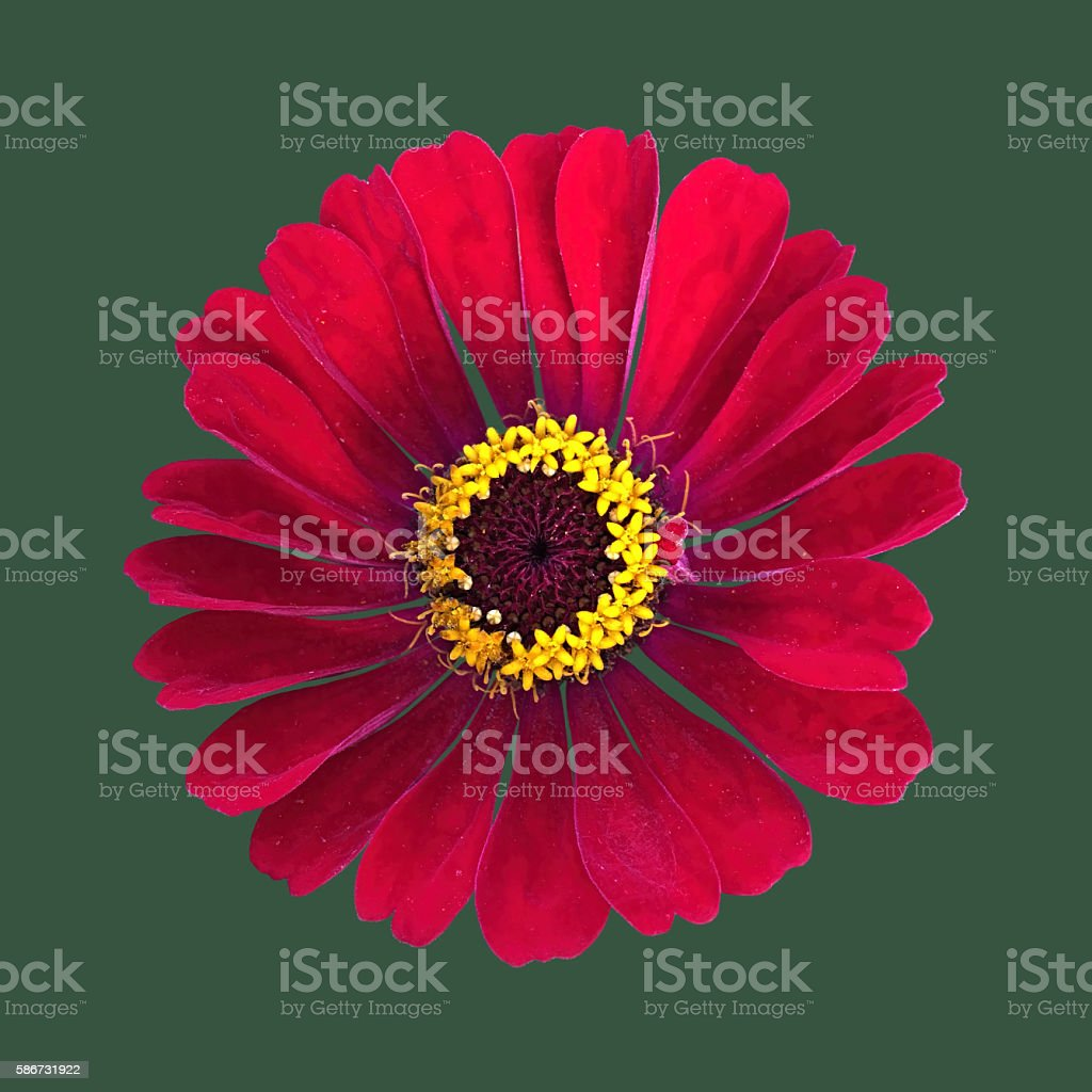 Red cosmos bipinnatus isolated green stock photo