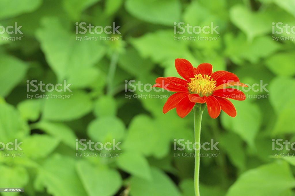 red cosmos flower royalty-free stock photo