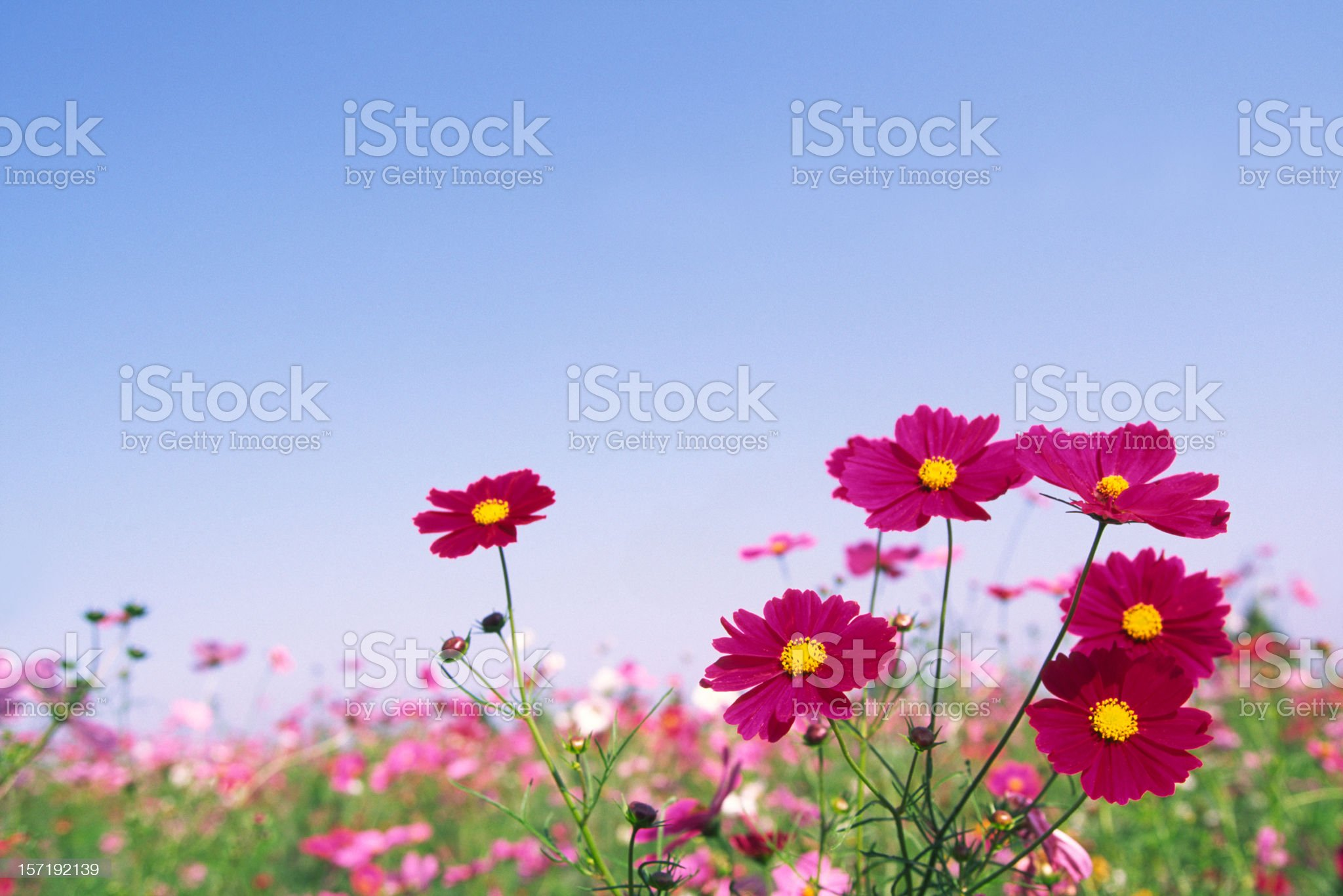 Red Cosmos Flowers royalty-free stock photo