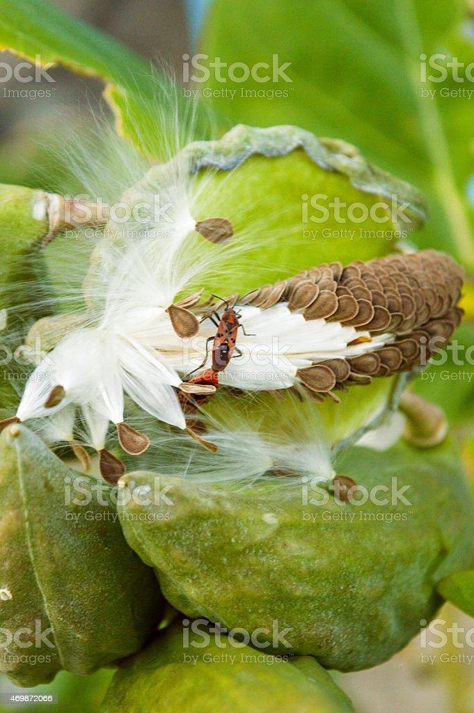 Red Cotton Bug Dysdercus cingulatus stock photo