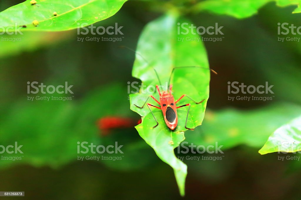 Red cotton bug dysdercus koenigii Chitwan-Nepal 0928 stock photo