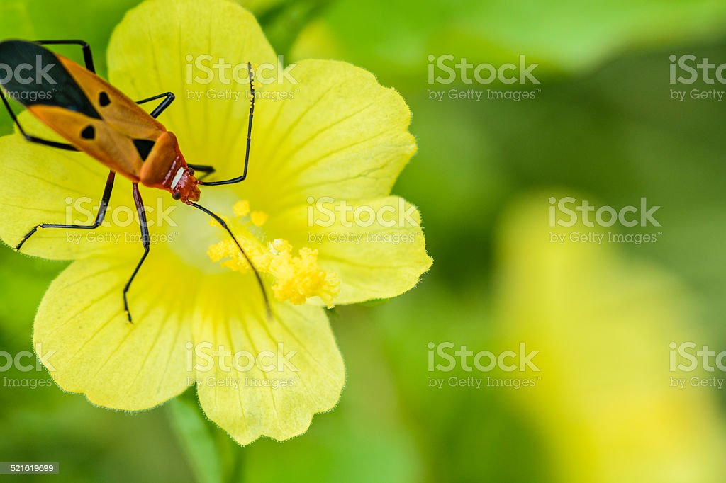 Red cotton bug on Wild Hibiscus stock photo
