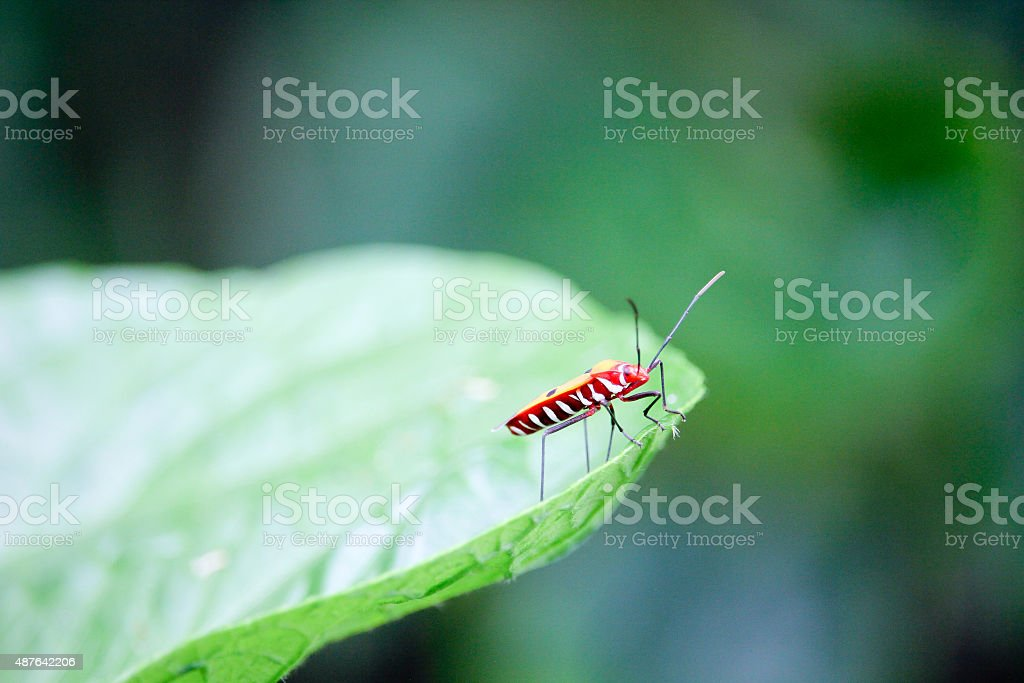Red Cotton Bug stock photo