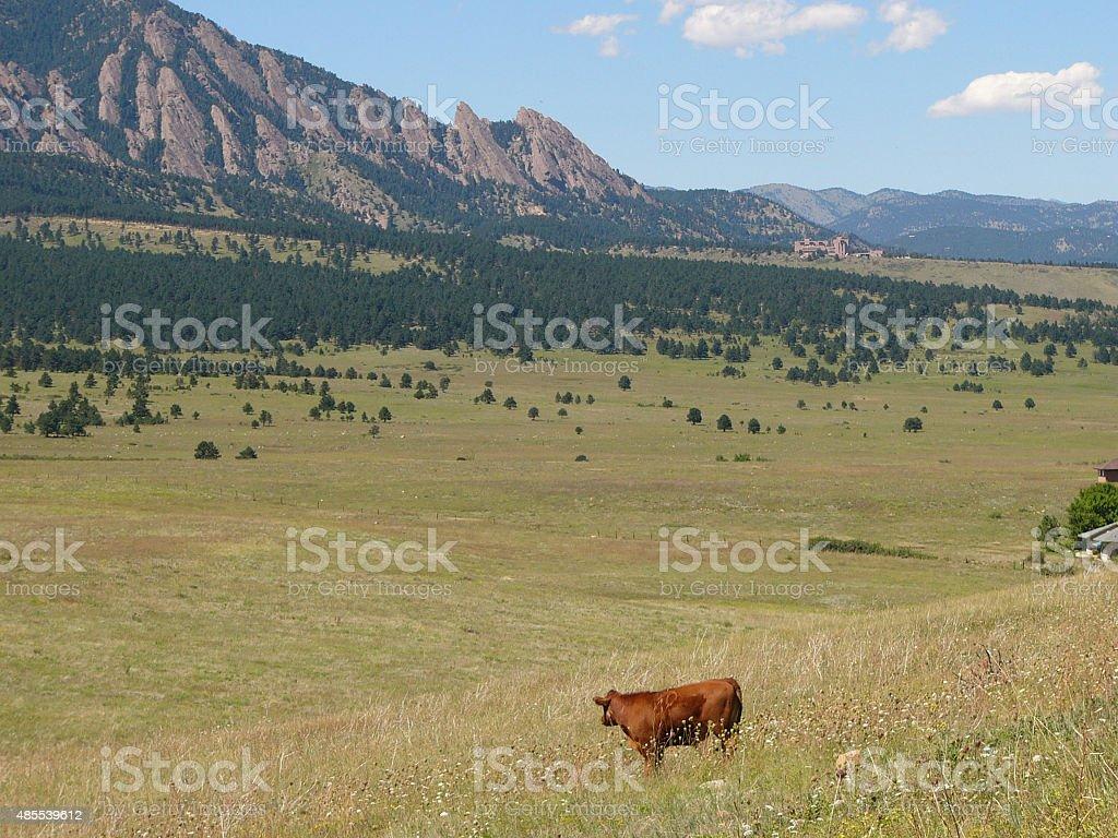 Red cow in Boulder, Colorado stock photo