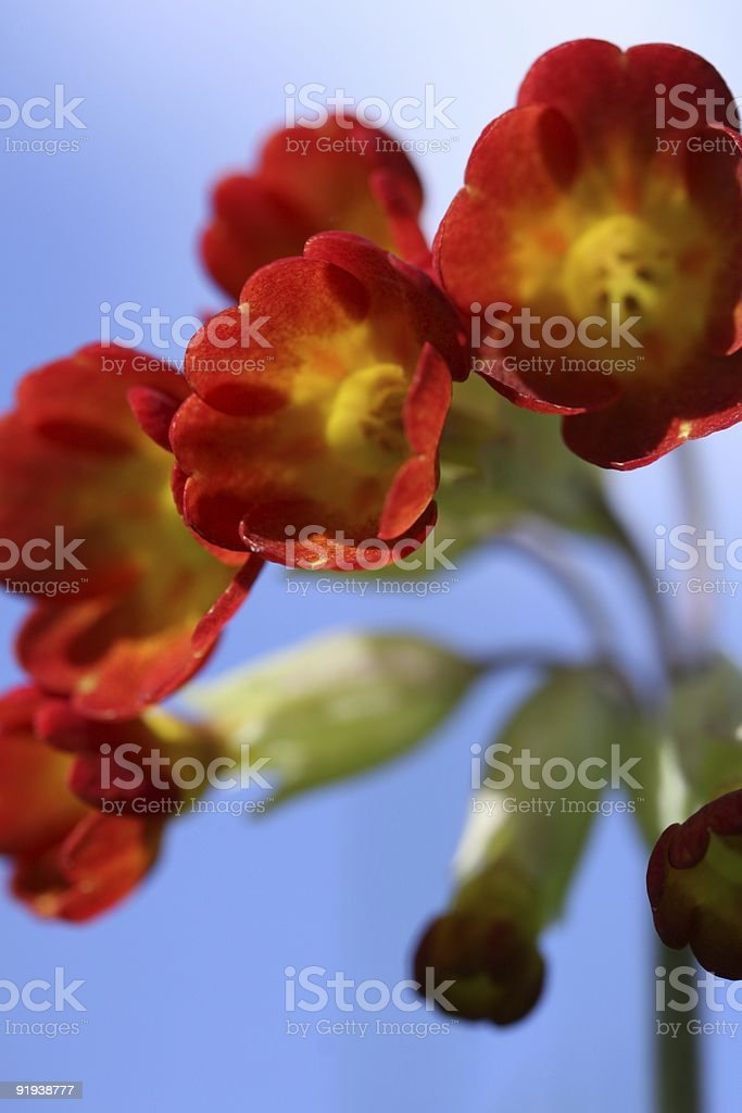 Red Cowslip royalty-free stock photo