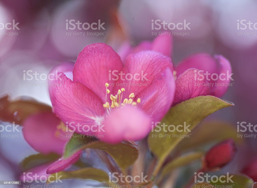 Red crab apple blossom stock photo