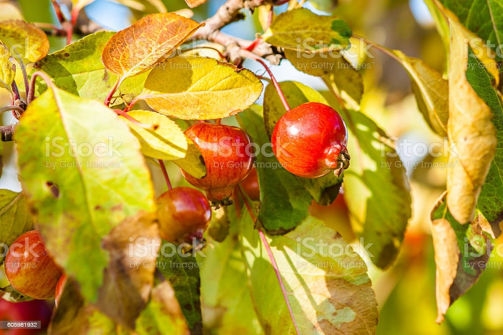 Red crab apples on a tree in autumn stock photo