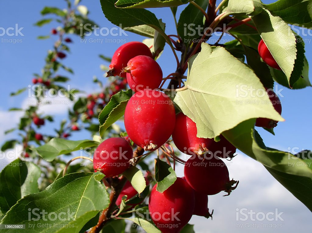 Red Crab Apples royalty-free stock photo