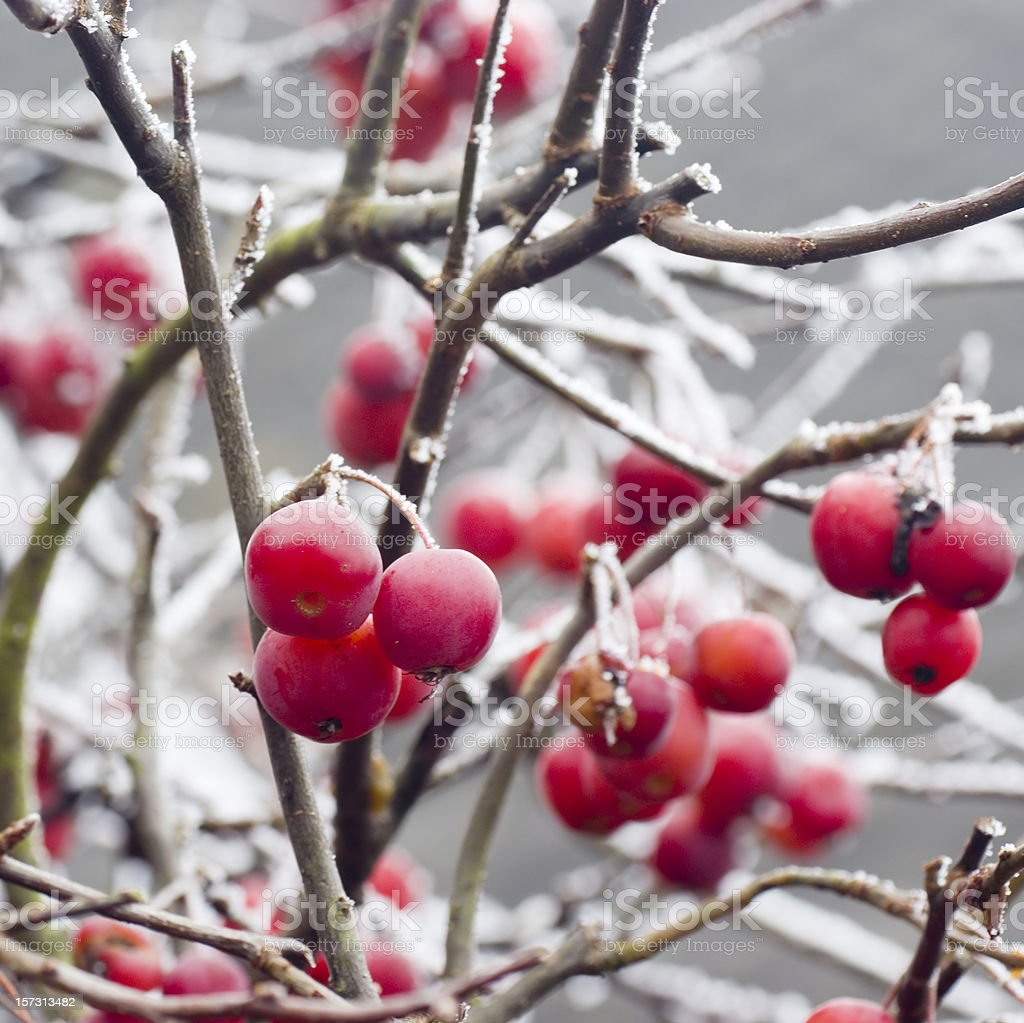 Red Crab Apples (Malus pumila) with Hoarfrost royalty-free stock photo