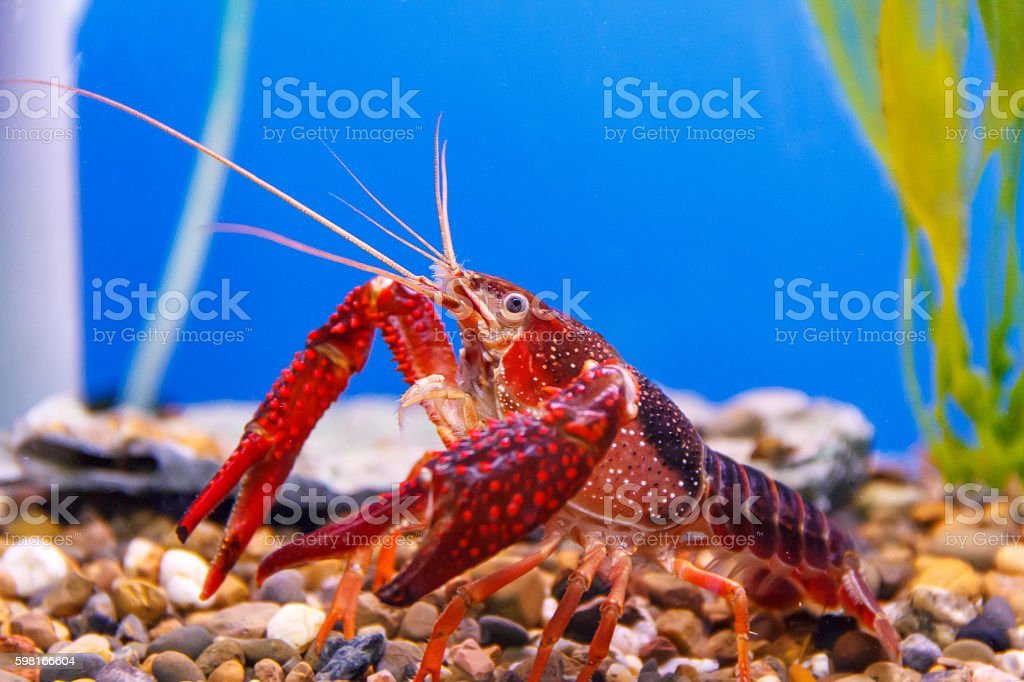 Red crab close up photo stock photo