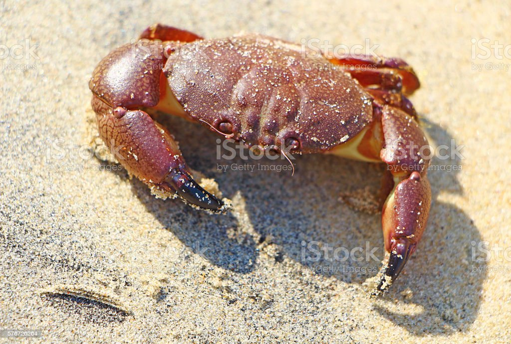 Red crab on yellow sand. India stock photo