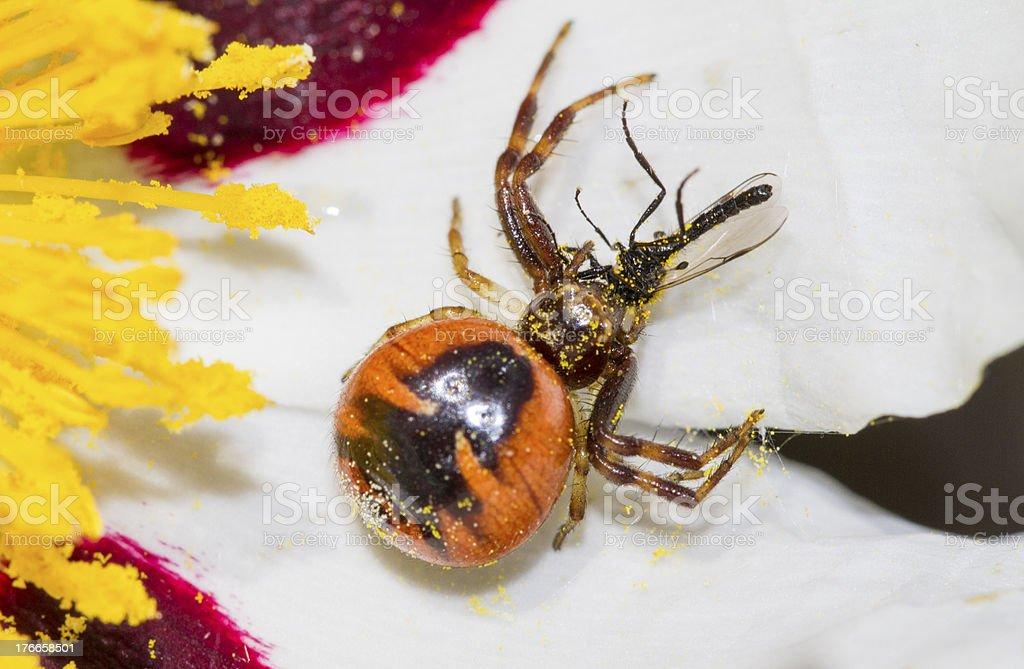 red crab spider (Synema globosum) hunting royalty-free stock photo