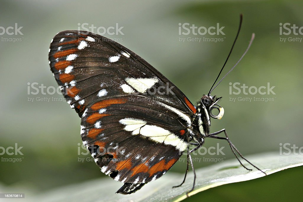 Red Cracker (Hamadryas amphinome) Butterfly Close-Up stock photo