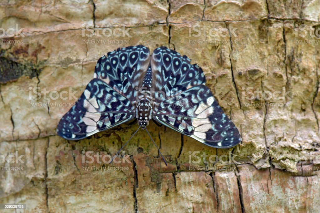 Red cracker butterfly sighted in remnant of Atlantic Rainforest stock photo