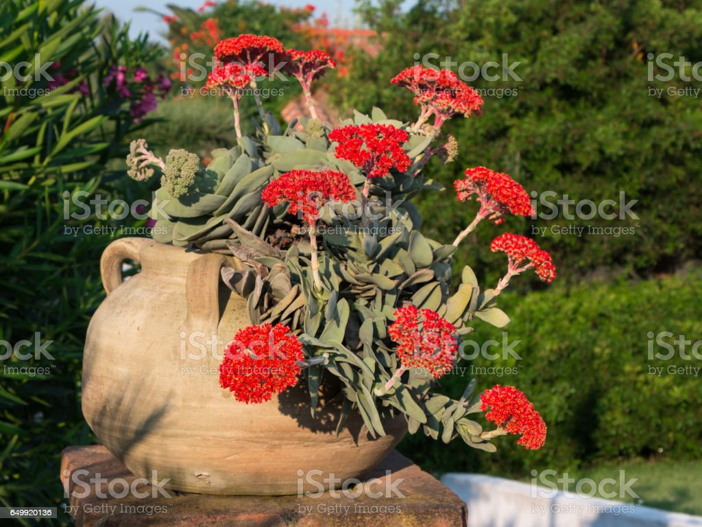 Red Crassula Falcata Flower, Airplane Plant or Propeller Plant stock photo