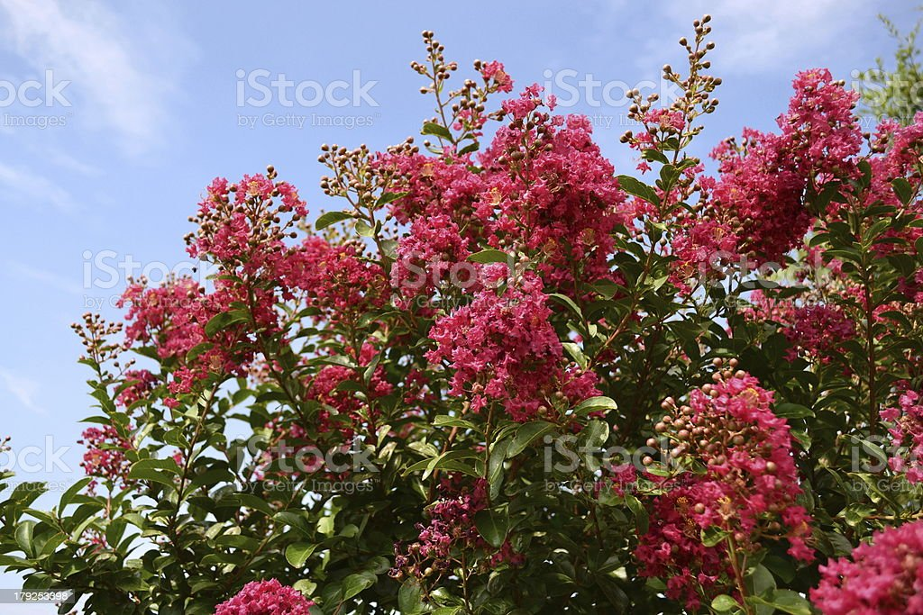 Red Crepe Myrtle against blue sky stock photo
