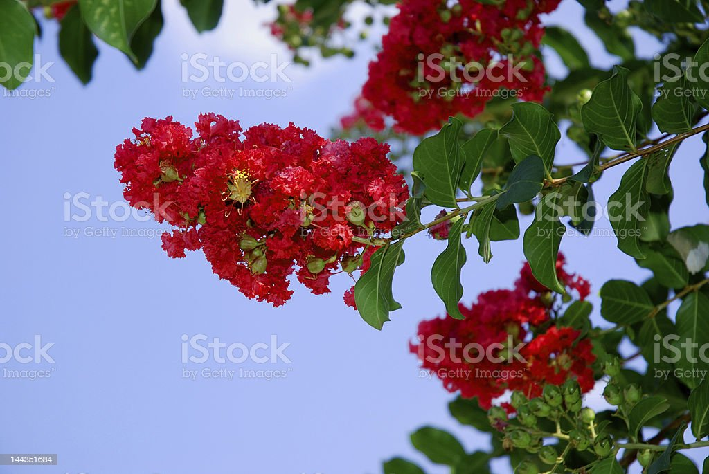 Red Crepe Myrtle royalty-free stock photo