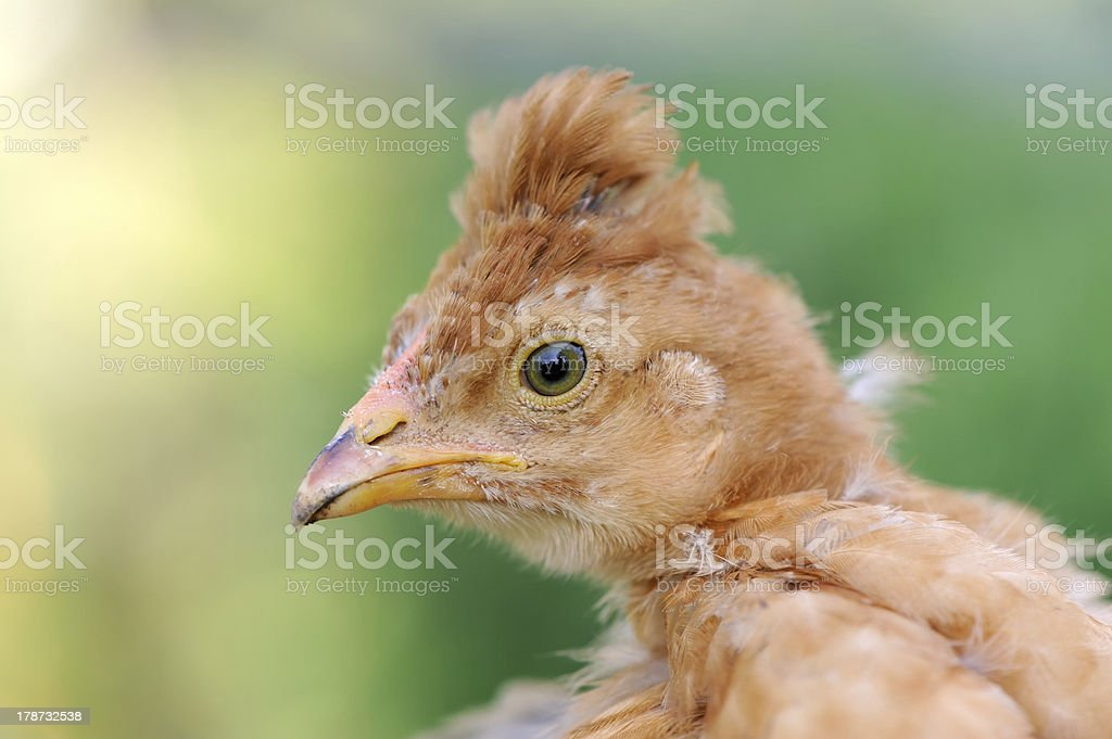 Red Crested Baby Chicken Close-Up royalty-free stock photo