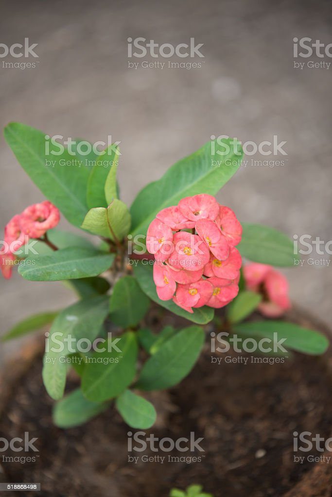 Red crown of thorns flowers stock photo