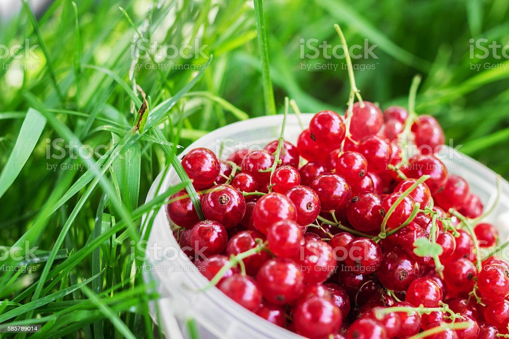 Red currant berries in plastic can on grass stock photo