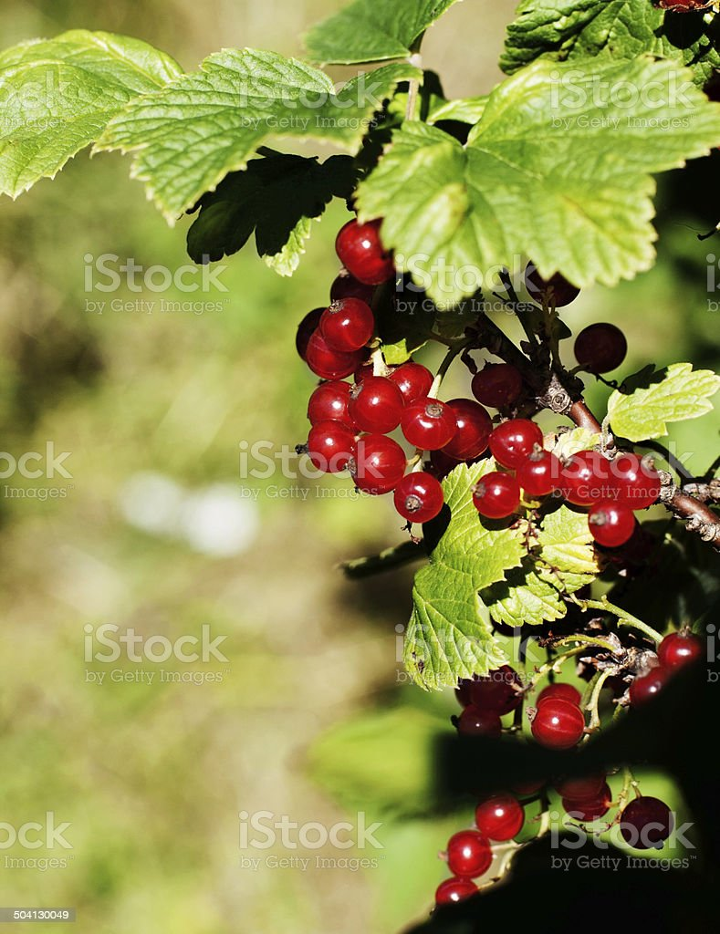 red currant berries on a branch royalty-free stock photo