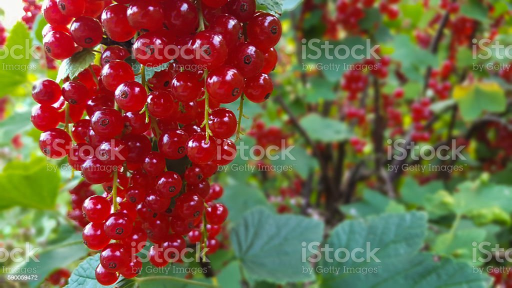 Red currant berrys on a bush stock photo