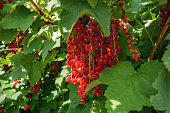 Red currant bunches.