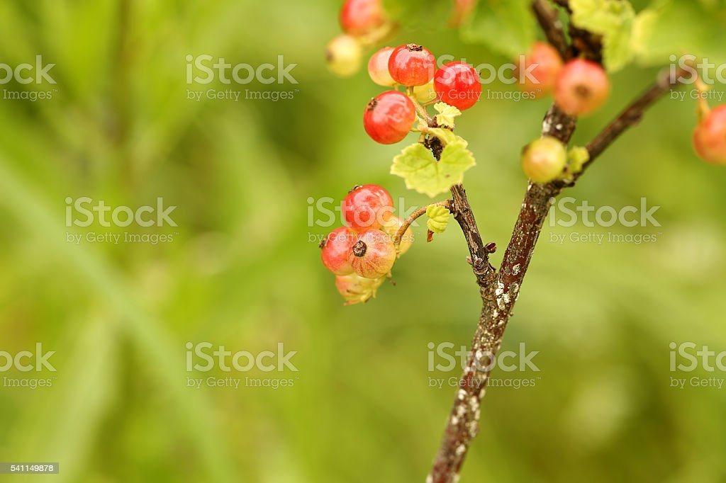 red currant bush in the garden stock photo
