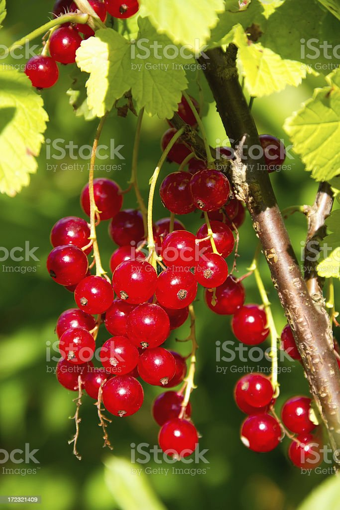 red currant bush royalty-free stock photo