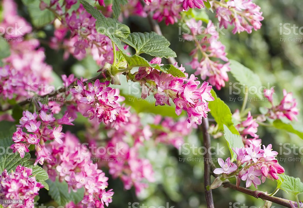 Red Currant (Ribes sanguineum) in bloom royalty-free stock photo