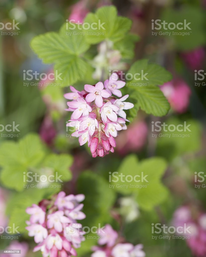 Red Currant (Ribes sanguineum) in bloom stock photo
