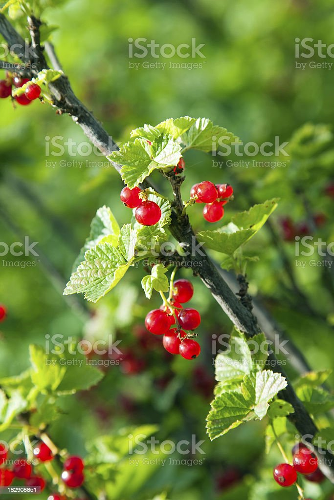 Red currant. royalty-free stock photo