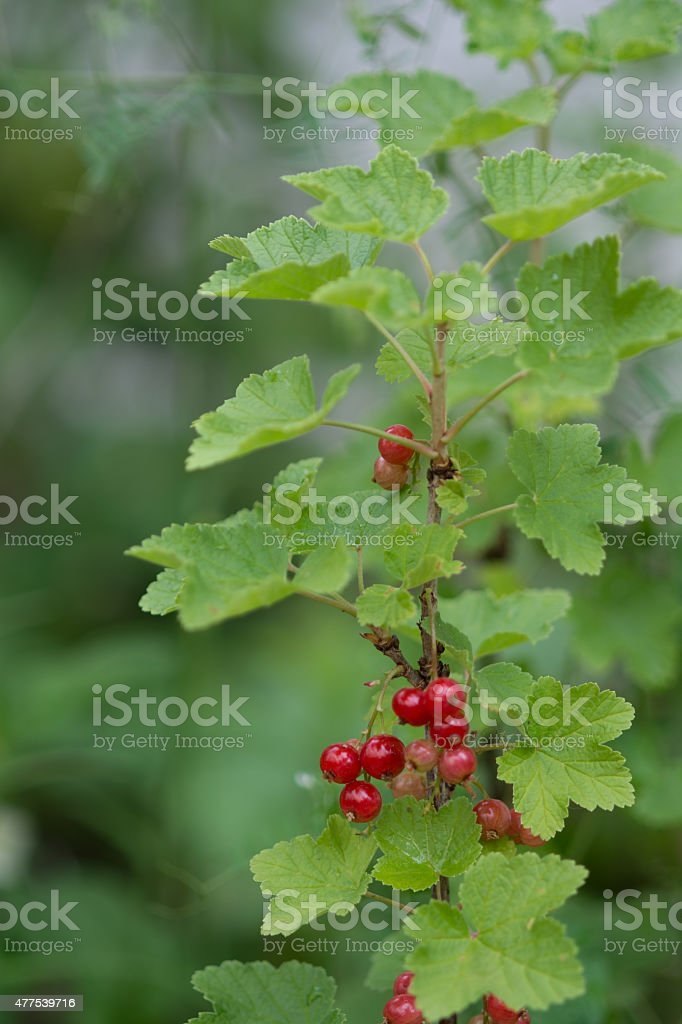 Red currant royalty-free stock photo
