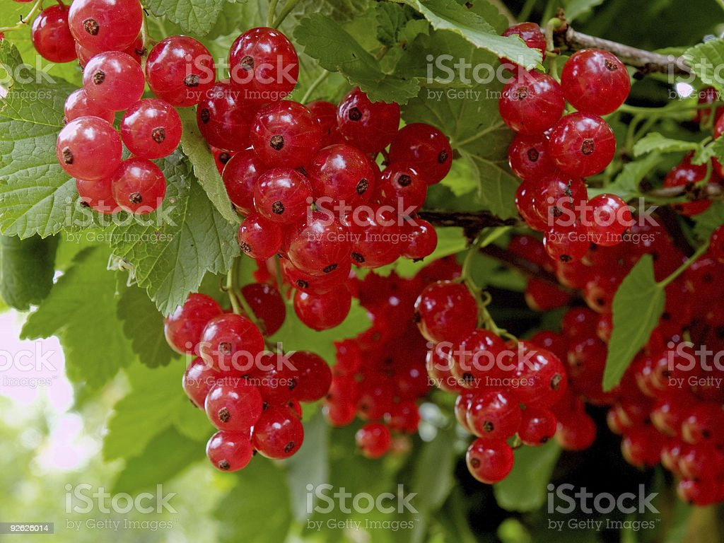 Red currant (Ribes rubrum) royalty-free stock photo