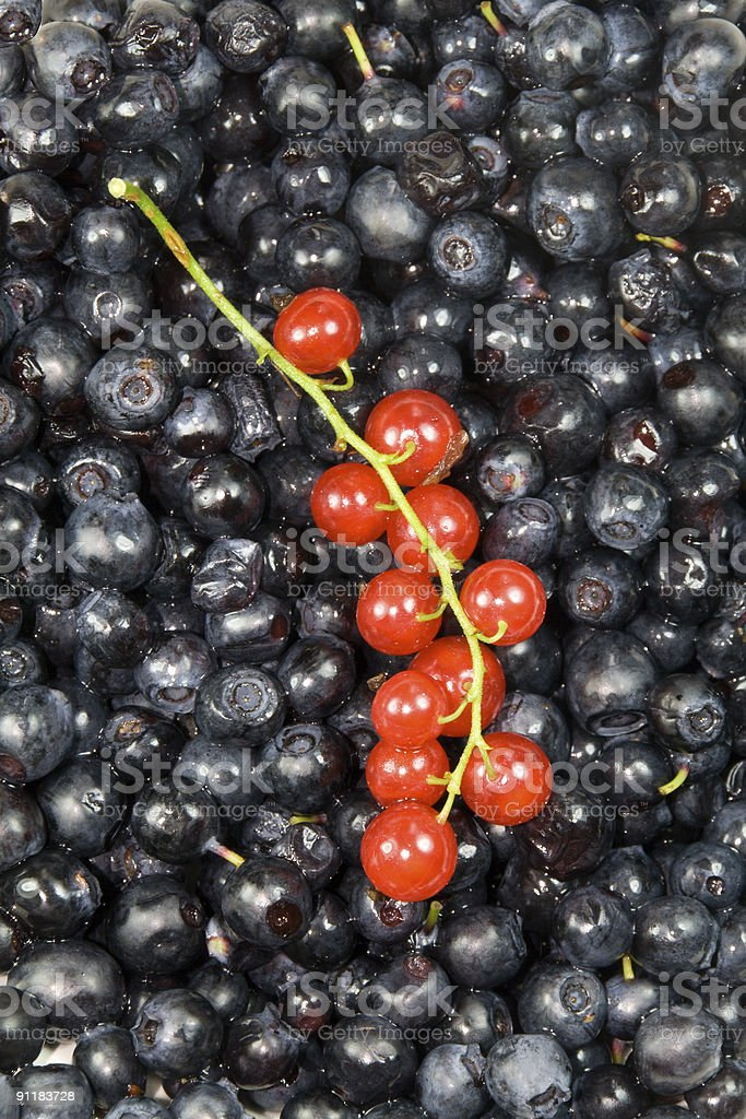 red currant twig on bilberry background royalty-free stock photo