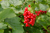 Red Currants on a Green bush